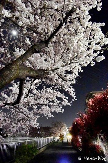 夜桜 064