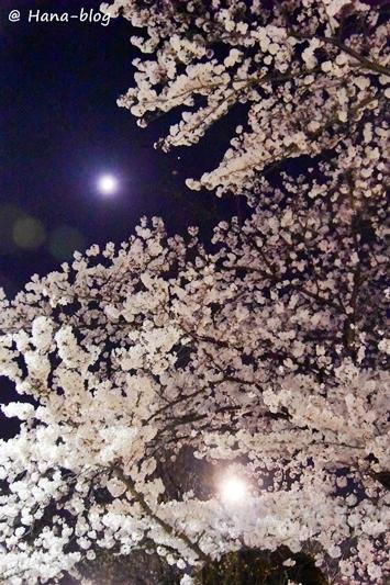 夜桜 104
