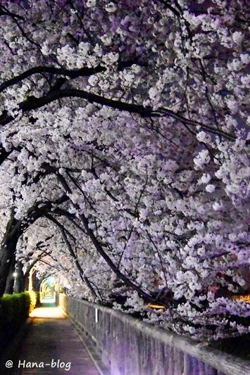 夜桜 116