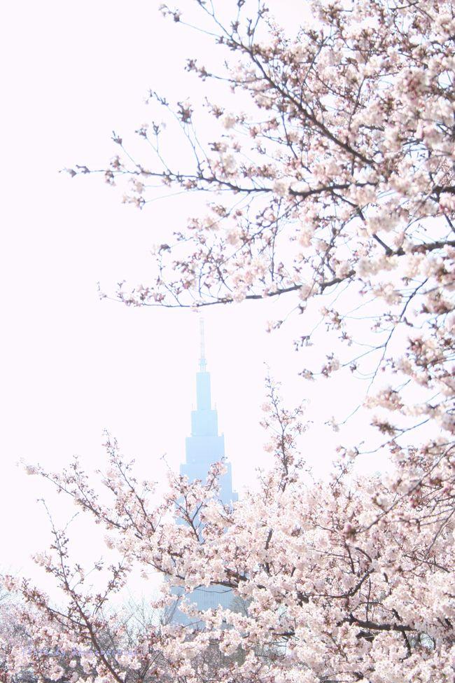 高層ビルと桜