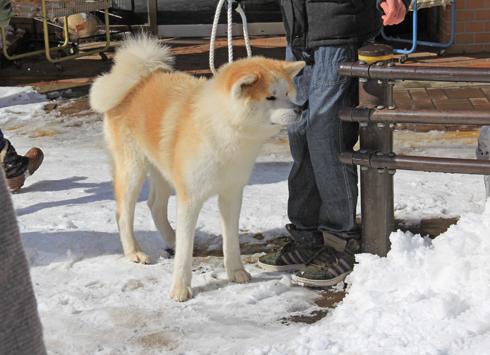 大館アメッコ市と秋田犬-3
