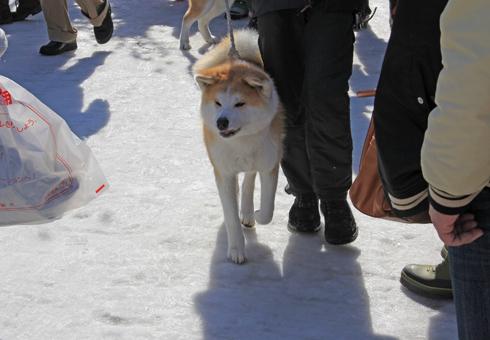 大館アメッコ市と秋田犬-8