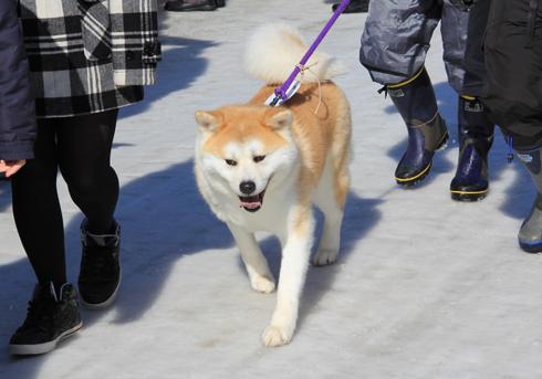 大館アメッコ市と秋田犬-13