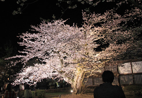弘前城桜祭り2015夜桜-3