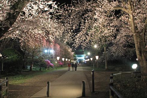 弘前城桜祭り2015夜桜-16