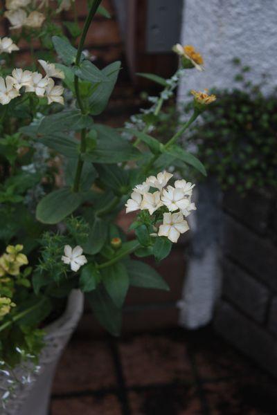 ジニア・シンデレラとフロックス・クレームブリュレの寄せ植え