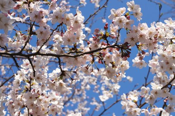 春は桜の彩衣