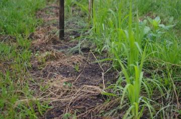 陸稲と大豆