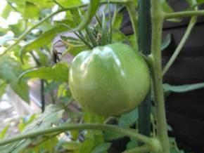 我が家の家庭菜園のトマトを朝7時にデジカメ撮影