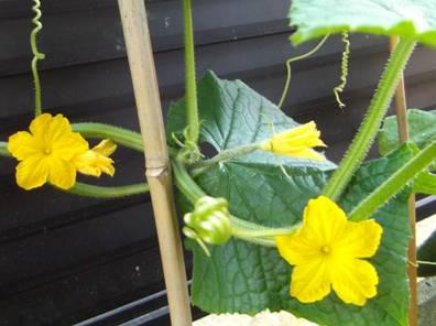 家庭菜園のキュウリの花を写真撮影した