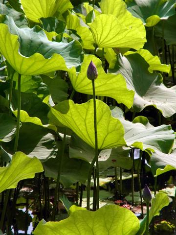 2015 05 cairo lotus-02