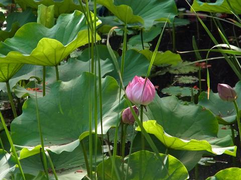 2015 05 cairo lotus-01