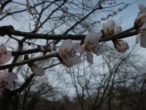150402ロトウ桜1