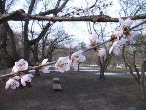 150402ロトウ桜2