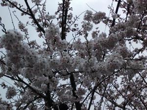 150416桜川の桜