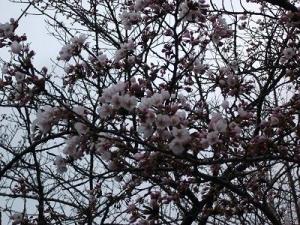 150416合浦の桜