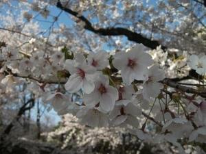 150423桜アップ