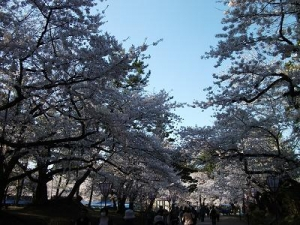 150423桜並木
