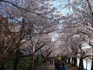 150423桜のトンネル