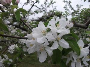 150504りんごの花