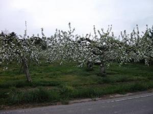 150504りんご畑