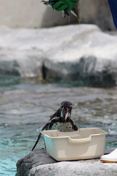 TobeZOO フンボルトペンギン・餌やり 150711 004