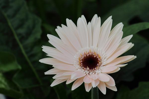 花き研究指導室 マーガレット 150718 02