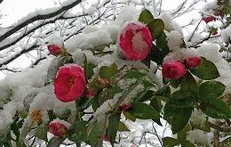 1216山茶花に雪