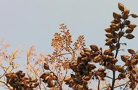1104桐の木