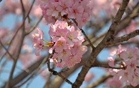 201549桜1