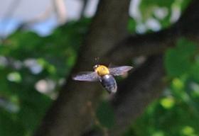 2015521クマバチ