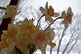 201544水仙の花
