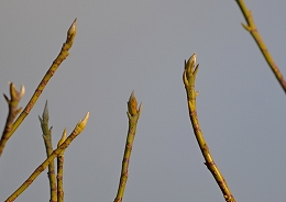 2015312ヒメタイサンボク芽