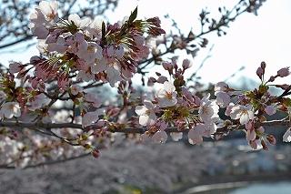 20154常田池桜1