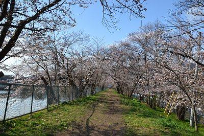 201546常田池桜2