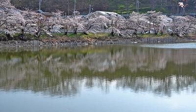 201546常田池桜3