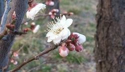 2015320梅の花