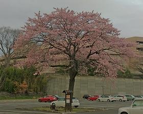201544キツネ坂の桜1