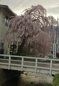201544枝垂桜