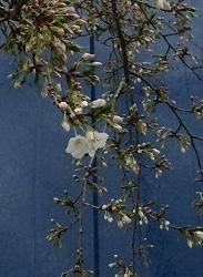 2015320桜
