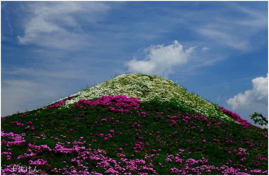富士芝桜祭り1