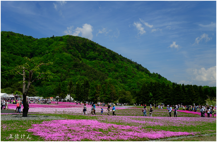 富士芝桜祭り2