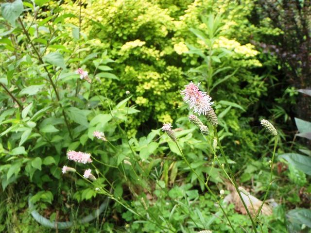 ワレモコウの花20150627