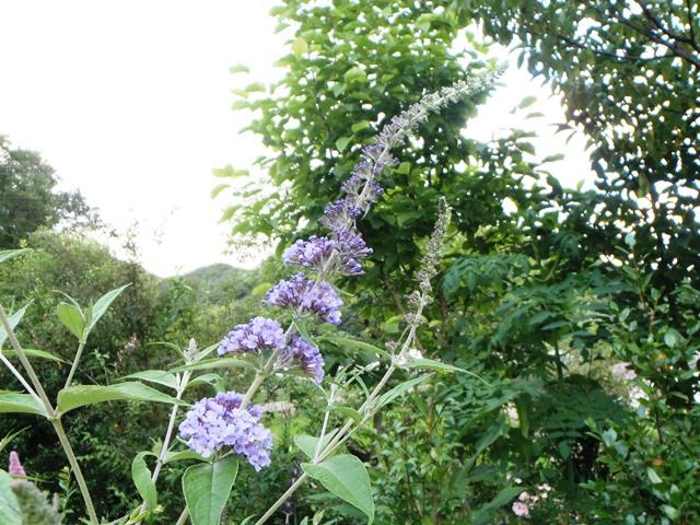 すんごい長い花穂ブッドレア20150628