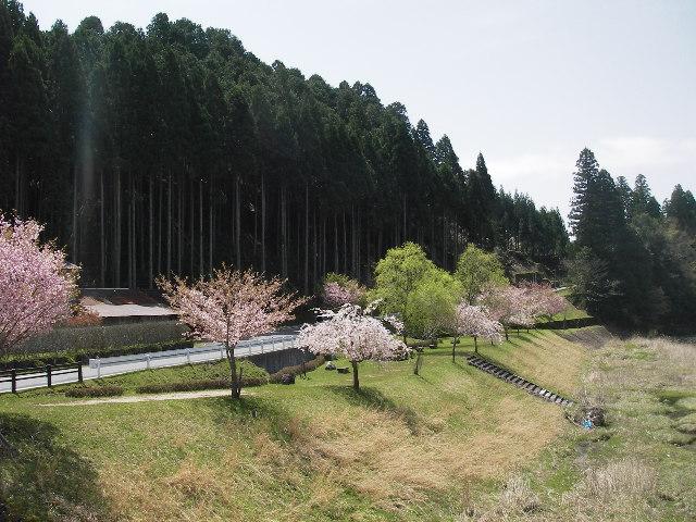 桂川堰堤の桜