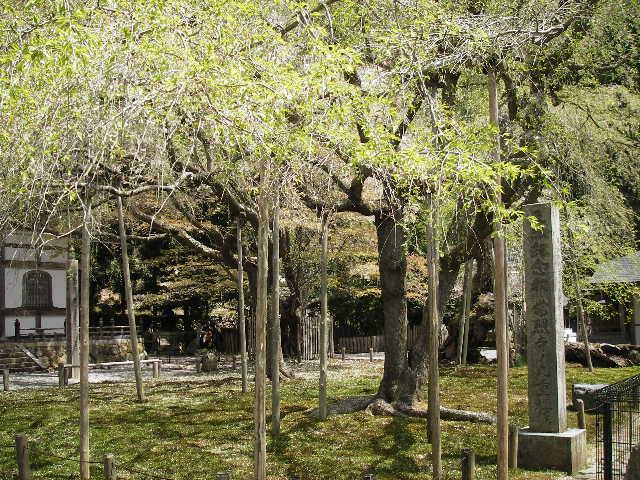 国天然記念物九重桜