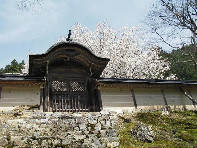 勅使門越しの御車返しの桜