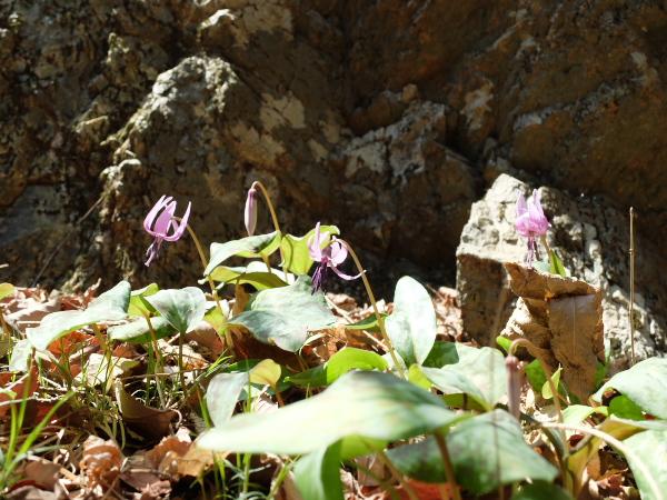 岩棚のカタクリ