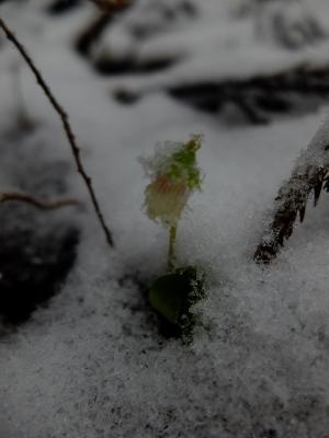 カタバミと雪
