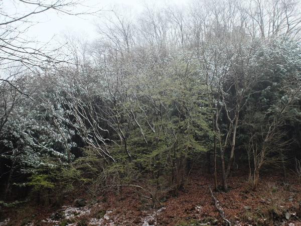 駒形新芽と雪